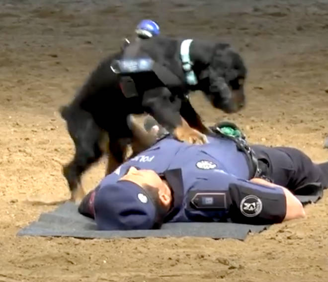 Police dog performs CPR on handler