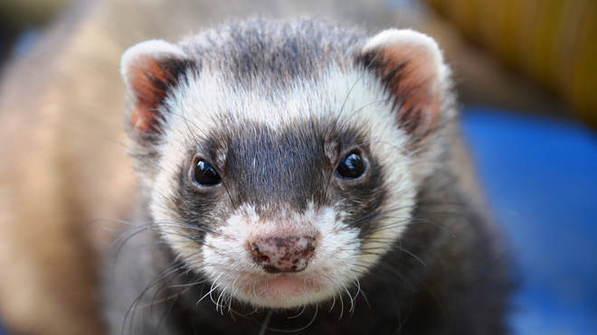 File photo: The two ferrets are now being cared for by the RSPCA