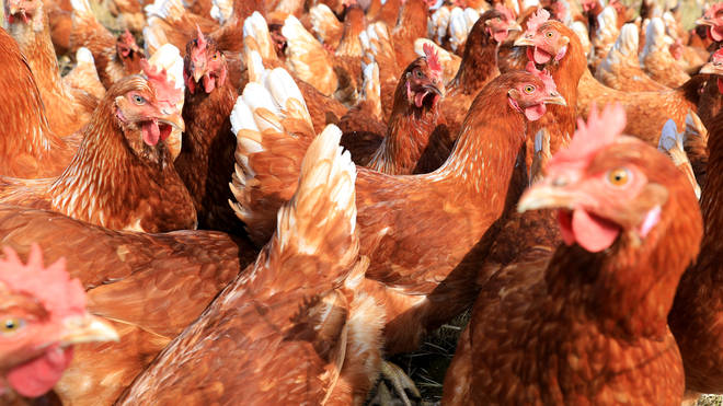 Around 27,000 chickens will be culled