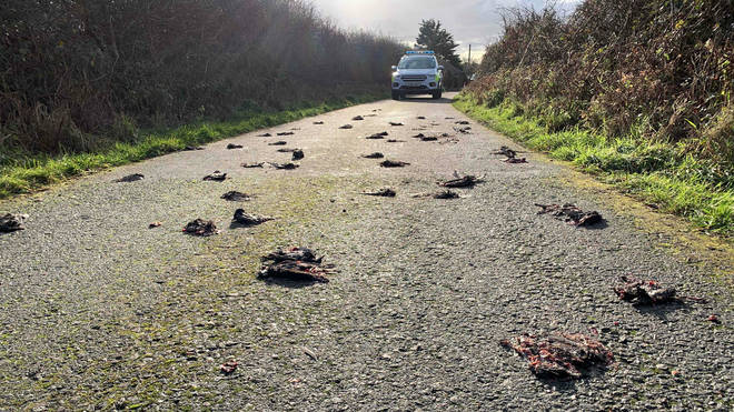 The birds were discovered on a country lane in Anglesey