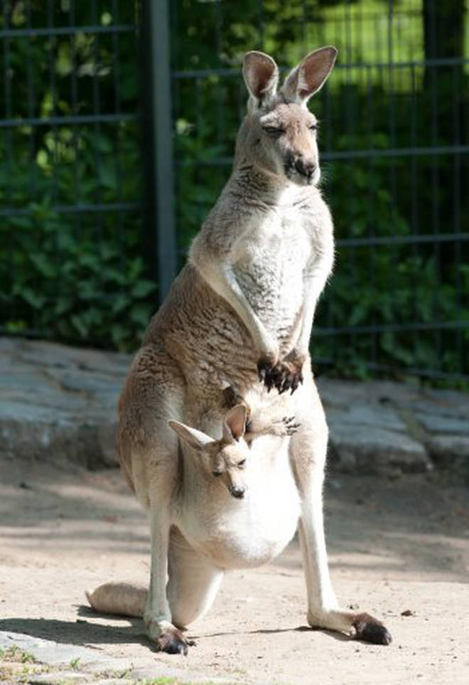 A kangaroo with a baby, called a joey, in its pouch