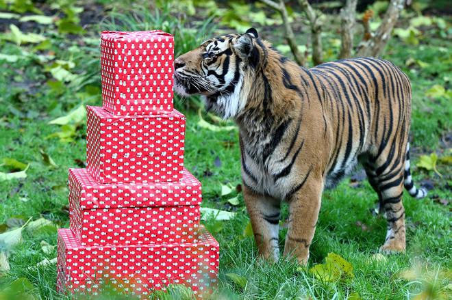 umatran tiger Asim investigates festive treats of turkey wings at ZSL London Zoo