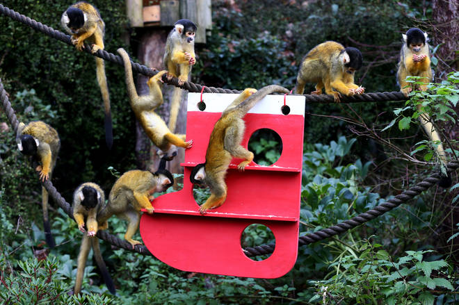 The zoo's troop of Bolivian black-capped squirrel monkeys were given a climbing frame