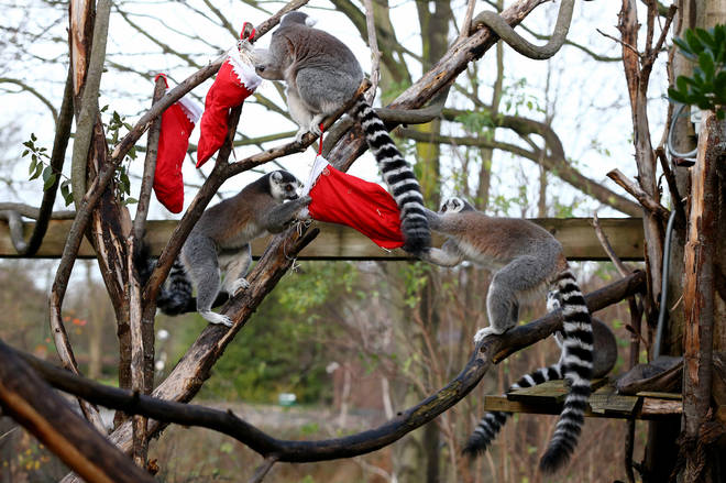 The ring-tailed lemurs had a great time