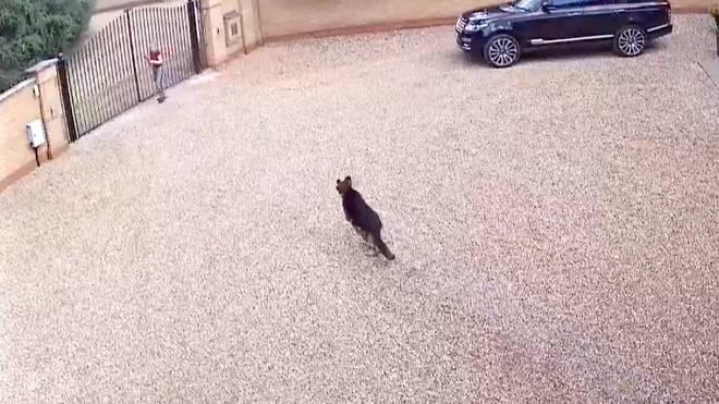 The dog runs towards the victim