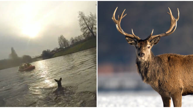 The deer had become trapped on a piece of land at the side of the River Irwell