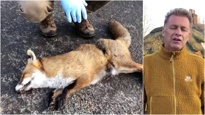 The wildlife campaigner showed the body of a dead fox