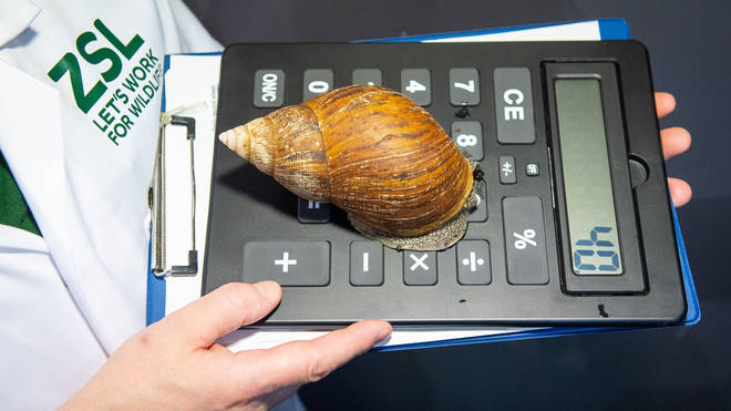 A zookeeper holds a giant African land snail