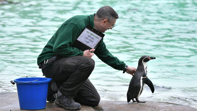 A zookeeper with a penguin at the annual stocktake