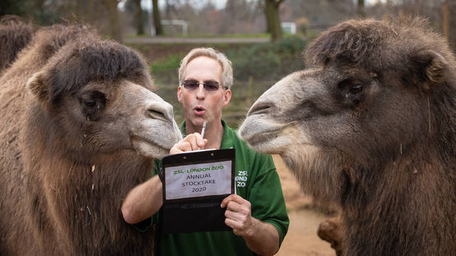 Zookeeper Mick Tiley counts Bactrian Camels at the stocktake