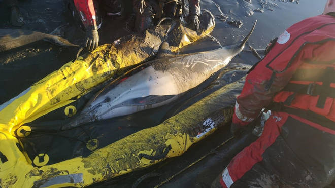 The dolphins were rescued from mud in the Thames Estuary