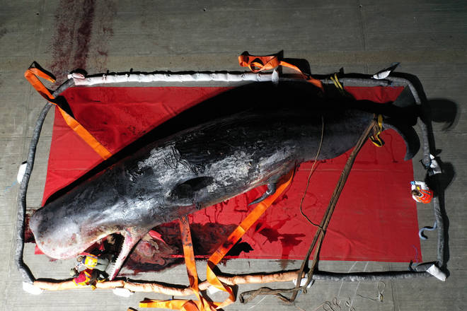 A whale who was found in the Thames Estuary has been put down by scientists