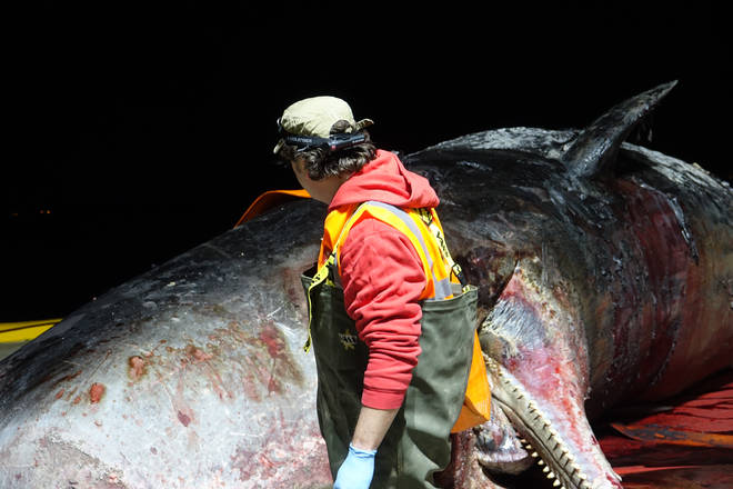 One of the team conducting the tests on the dead whale