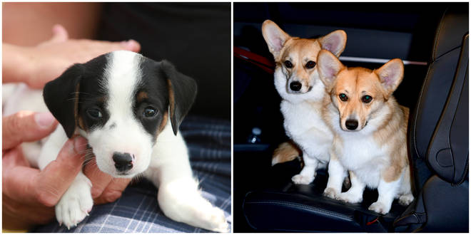 Jack Russell terriers and Corgis have seen a surge in popularity