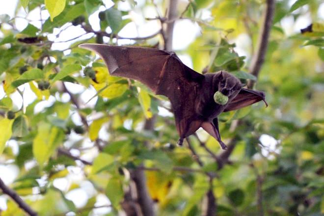 Human coronavirus is 96.5% similar to a virus found in bats