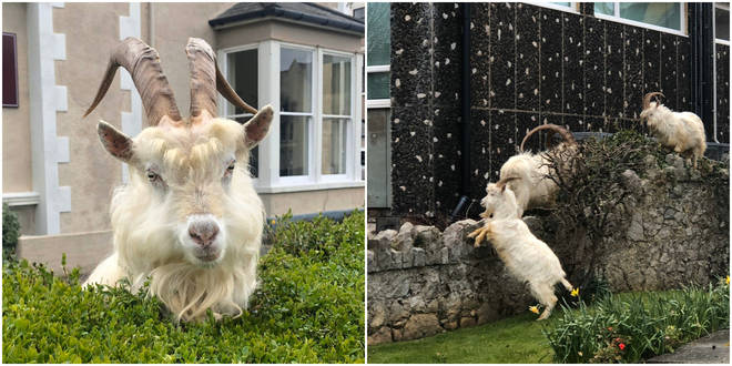 Llandudno has been overrun by wild goats
