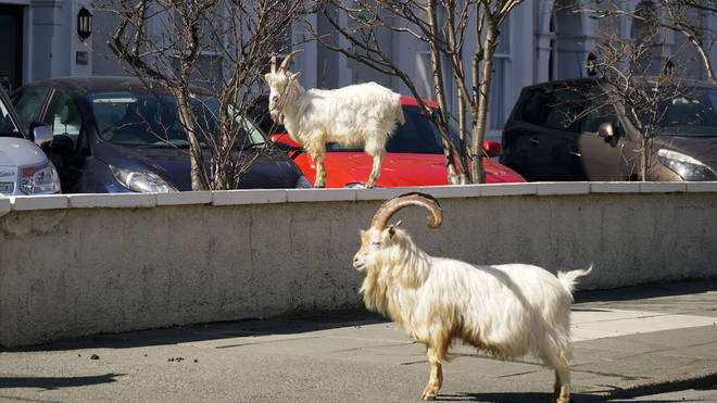 Police say visiting the goats is not essential