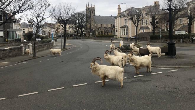 The deserted streets have meant the goats have almost got free rein of the town