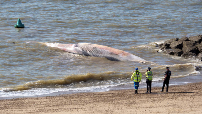 The whale washed up dead on the Essex beach