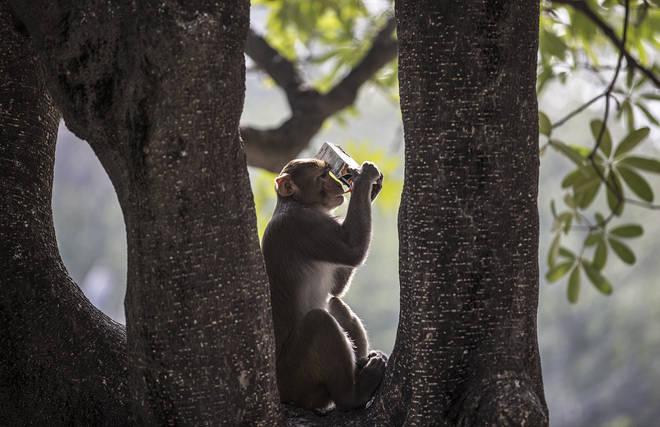 A macaque monkey in New Delhi