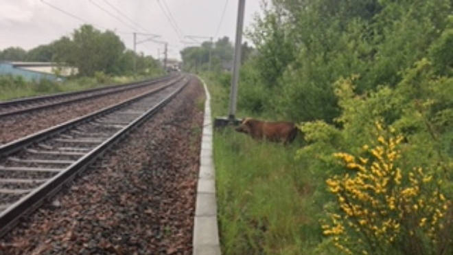 A wild boar was spotted next to the track in North Lanarkshire