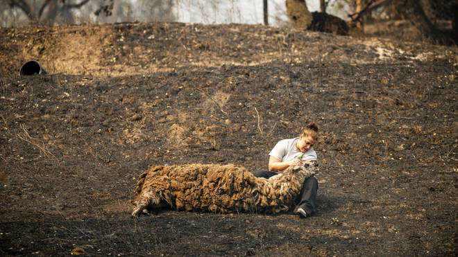 A woman comforts an injured llama after fires swept through in Vacaville, California