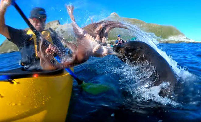 Kayaker gets slapped by a seal