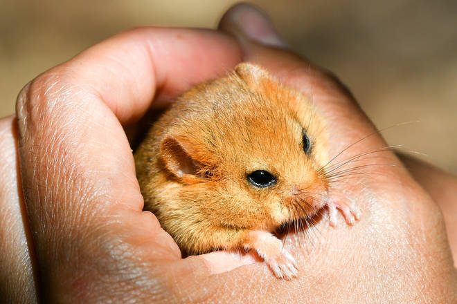 The hazel dormouse - more closely related to a squirrel than a mouse - are endangered in the UK