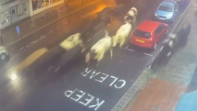 Pub-goers watched on in shock as the herd of cows marched down the high street