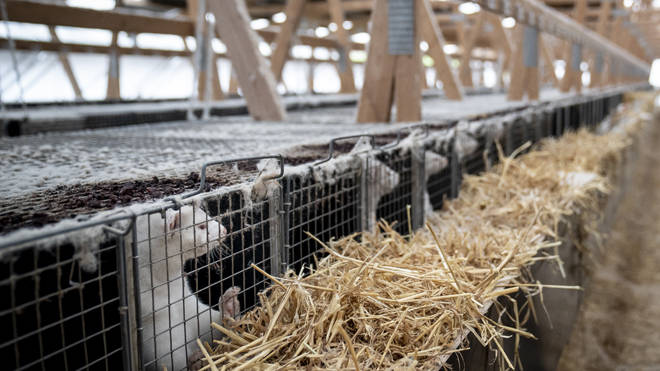 Mass culls of mink are taking place in Denmark