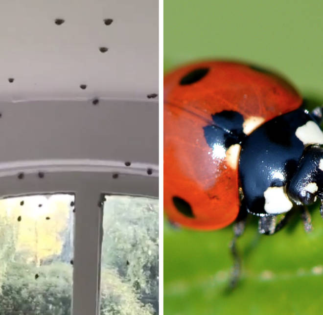 Social media users have shared videos of the ladybird invading their homes