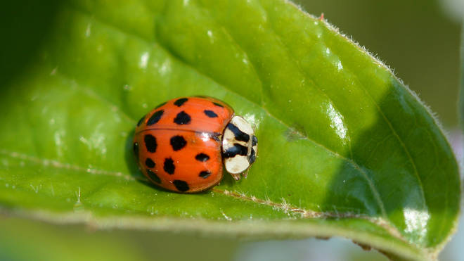 The Harlequin Ladybird is native to Asia