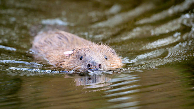 Beavers have constructed the first dam on Exmoor in over 400 years