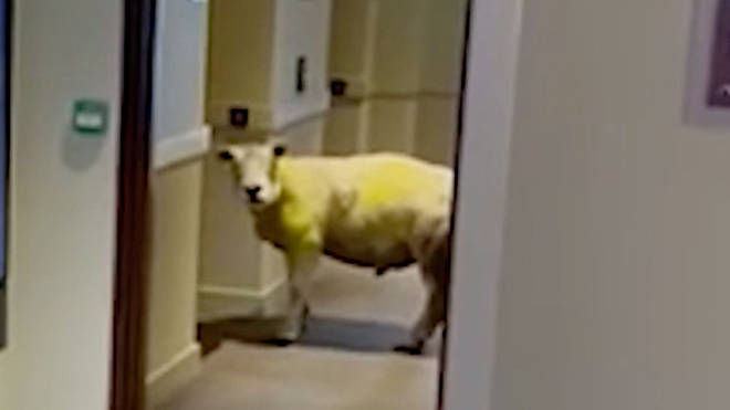 Sidney the sheep was filmed by stunned workers at the Premier Inn in Holyhead