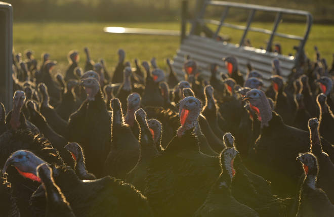 Tens of thousands of turkeys face being culled this winter