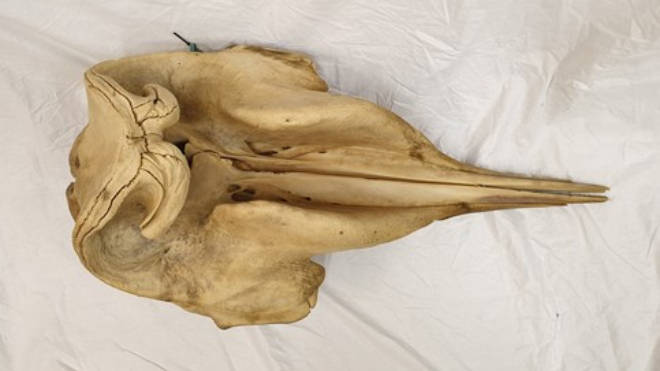 Police are hoping to trace this whale skull that was taken from a beach