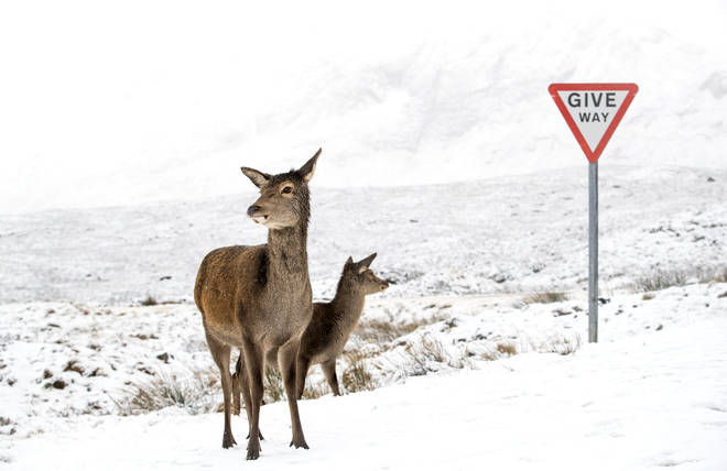 Red deer in the snow alongside the A82 in Glencoe, Scotland, on Sunday.