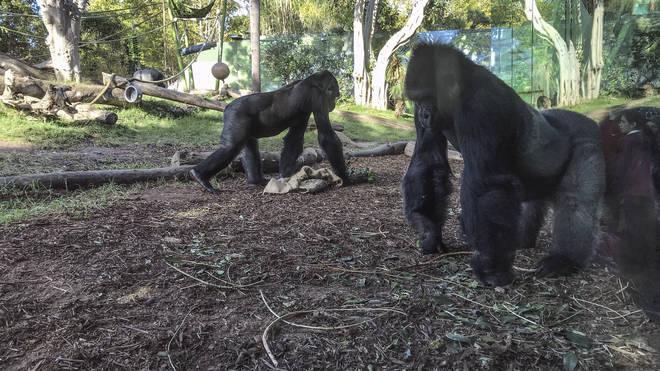 Gorillas at San Diego Zoo
