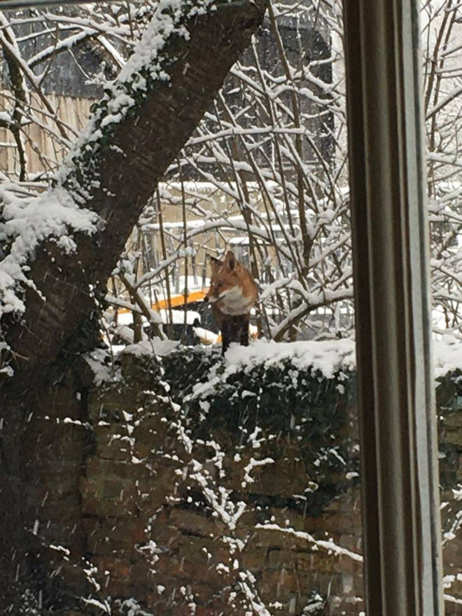 A fox was spotted enjoying the snow in Binsey, Oxford.