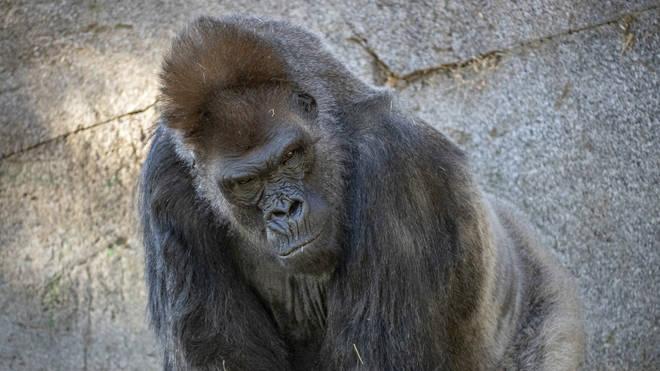 Winston, a silverback gorilla, in his enclosure at the San Diego Zoo Safari Park in Escondido, California