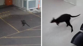 This is the moment the wandering wallaby hopped on into a hospital in Australia
