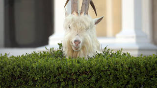 The famous Llandudno goats have returned to the streets of the coastal Welsh town.