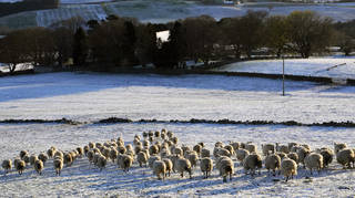 Sheep walk through a snow covered field in Slayley, Northumberland, after snow fell overnight on Easter Monday