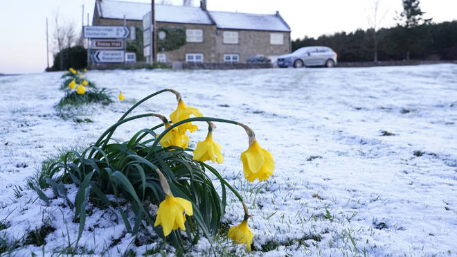 Daffodils wilt in the cold after snow fell overnight on Easter Monday in Slayley, Northumberland