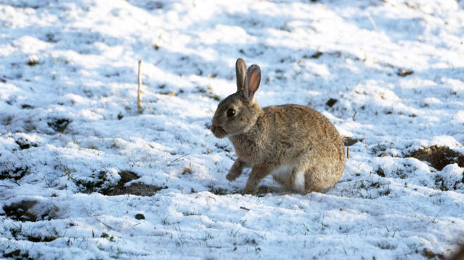 A rabbit sits a field of snow that fell overnight on Easter Monday in Slayley, Northumberland