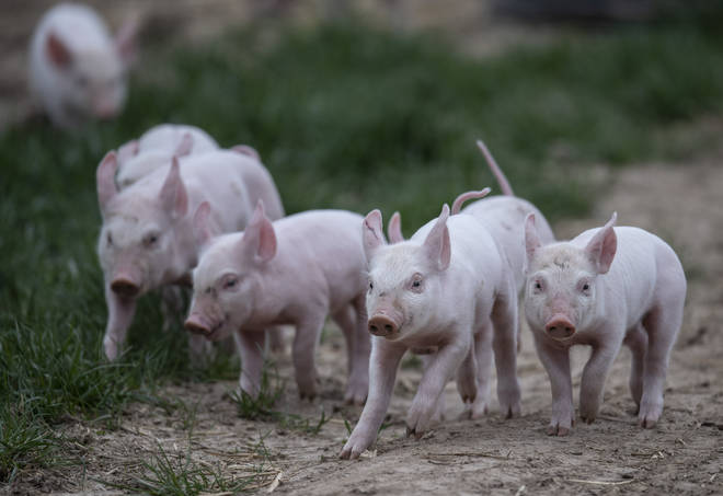 Mr Eustice's family farm is home to one third of the population of British Lop pig (not pictured)