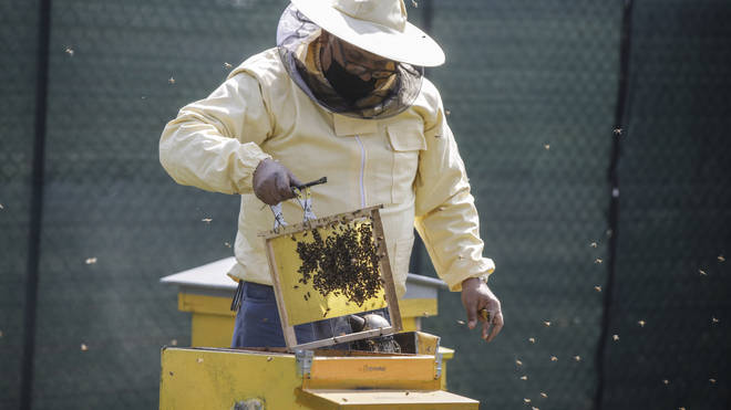 Beekeeper Francesco Capoano moves a frame from a hive at an apiary in Milan, Italy