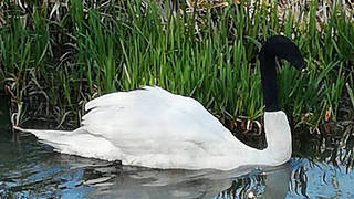 Police are appealing for anyone who may have information about who put a sock on a swan's head