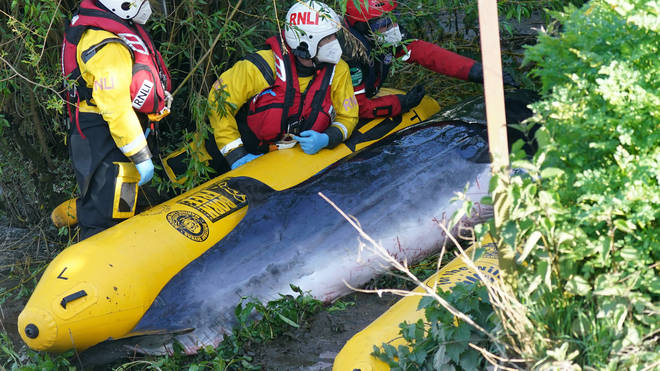 Lifeboat workers attempt to help the young whale