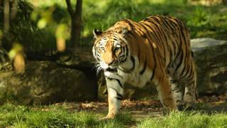 Tiger walks